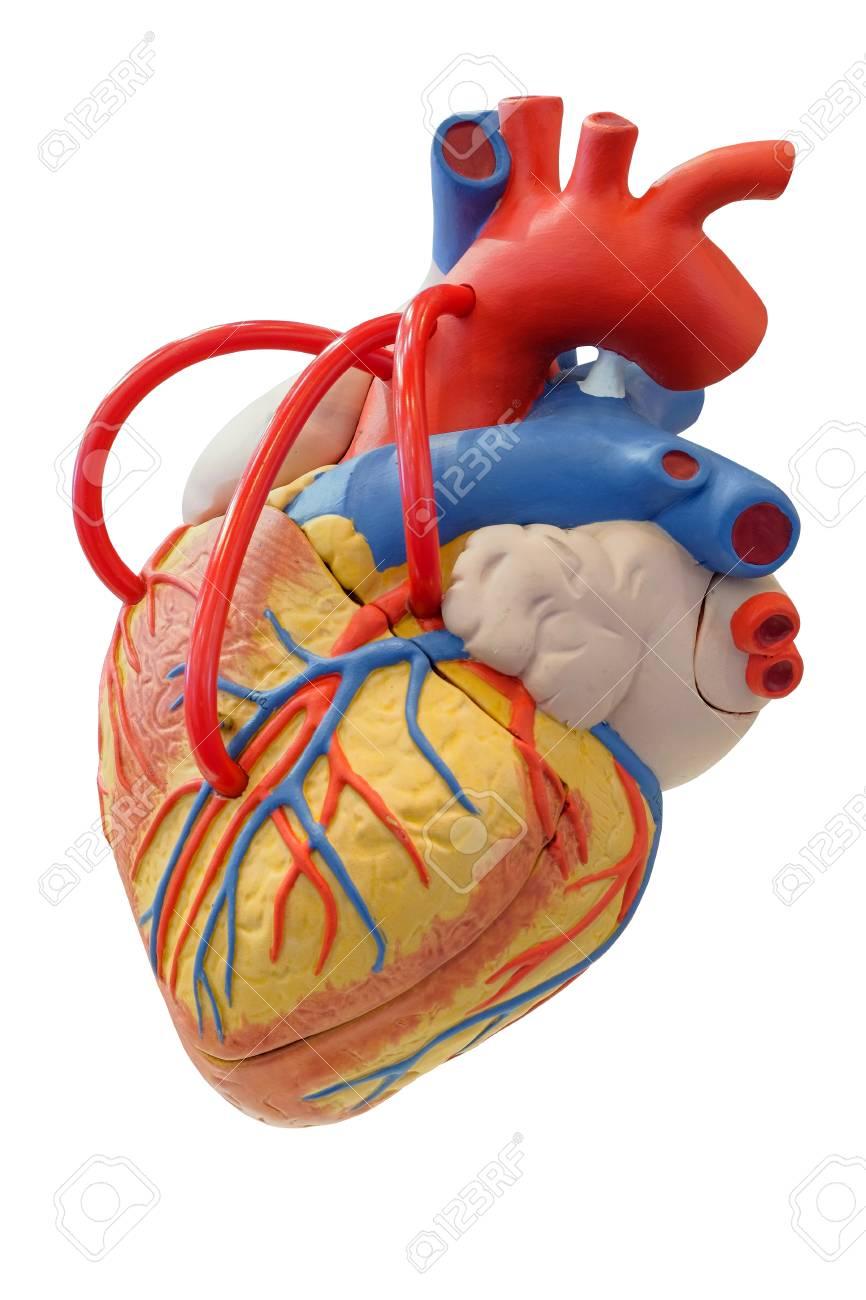 Anatomie-Modell Des Herz-Kreislauf-Systems Für Den Einsatz In Der ...