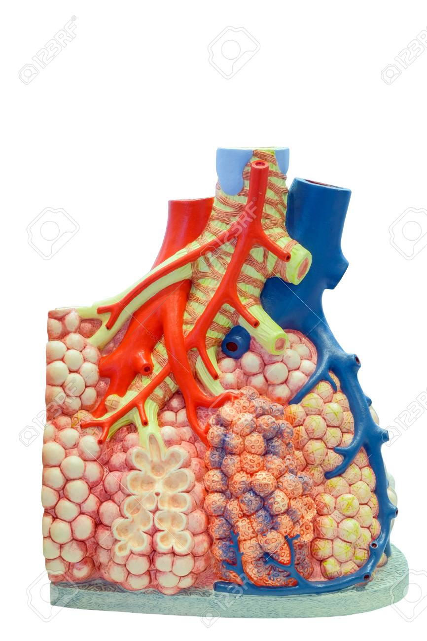 Anatomical Model Of The Pulmonary And Blood Vessels Of The Human ...