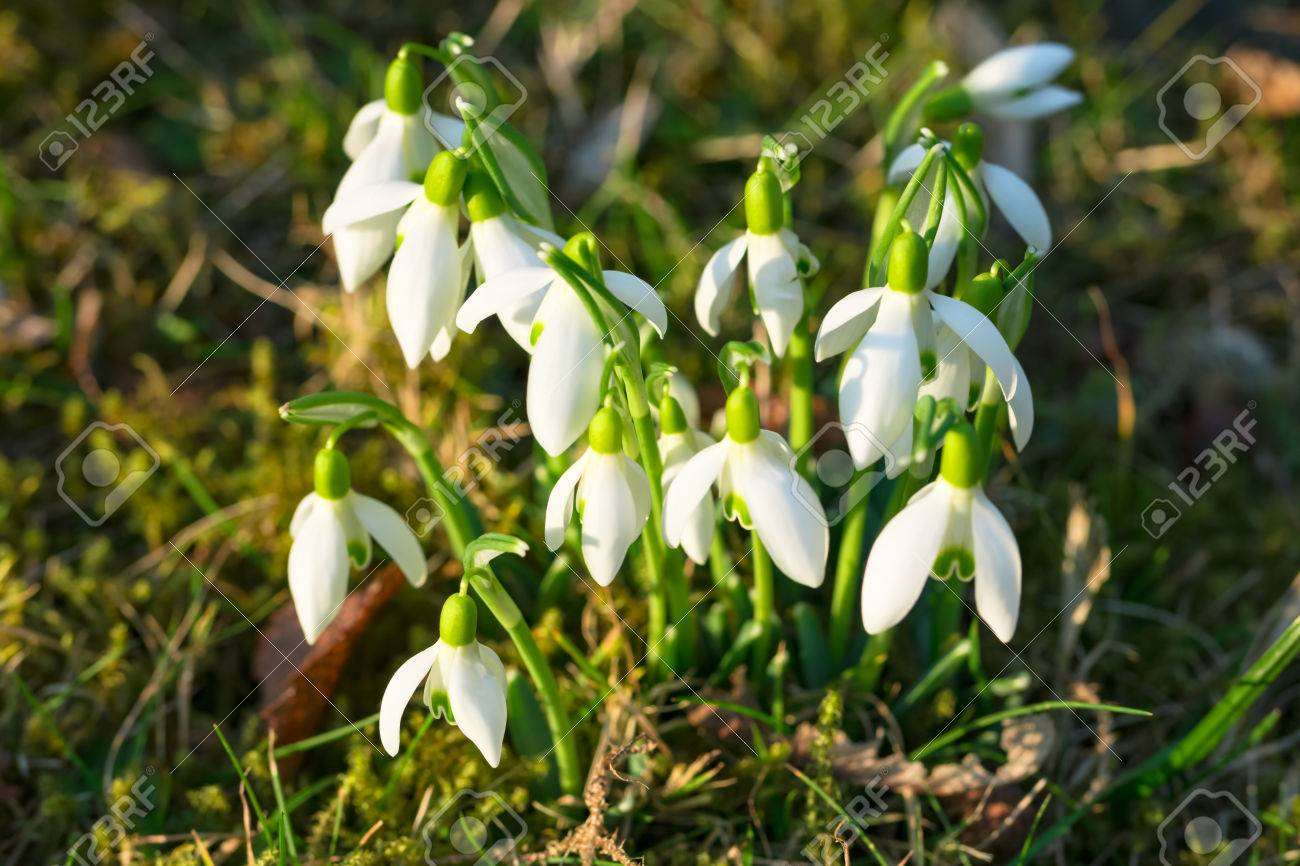 Snowdrops A Bundle Of Wild White Earliest Spring Flowers Growing