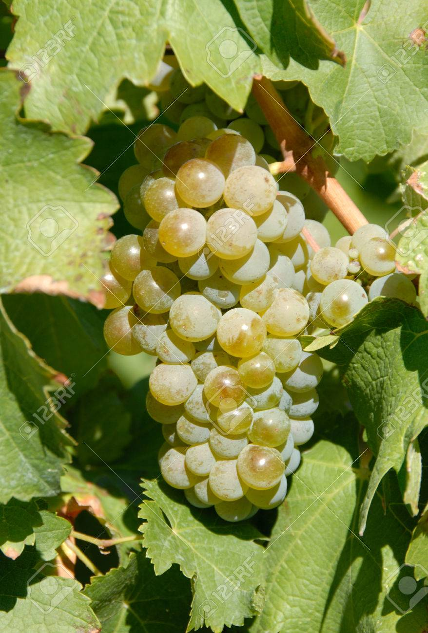Image result for free sauvignon blanc grape photos