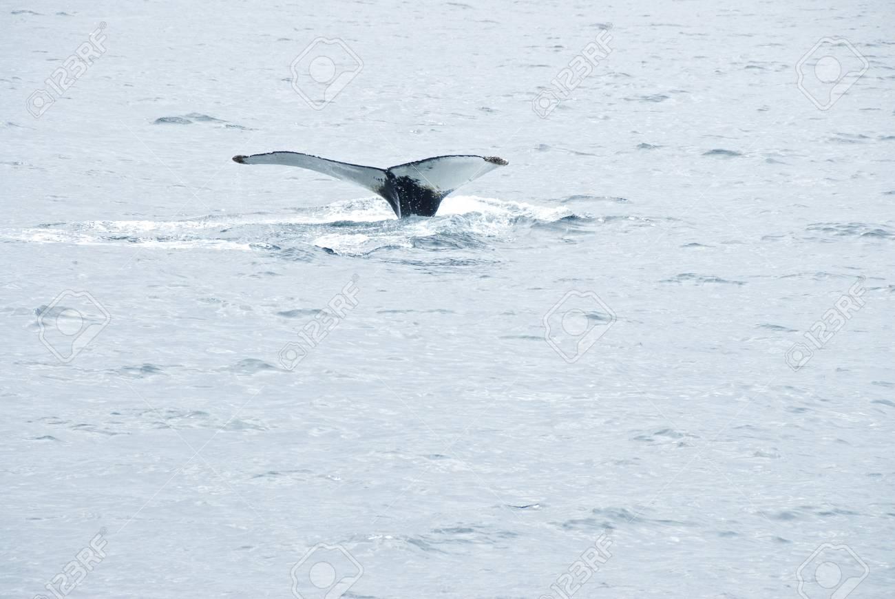 Humpback Whale in the Atlantic Ocean Stock Photo - 7439114