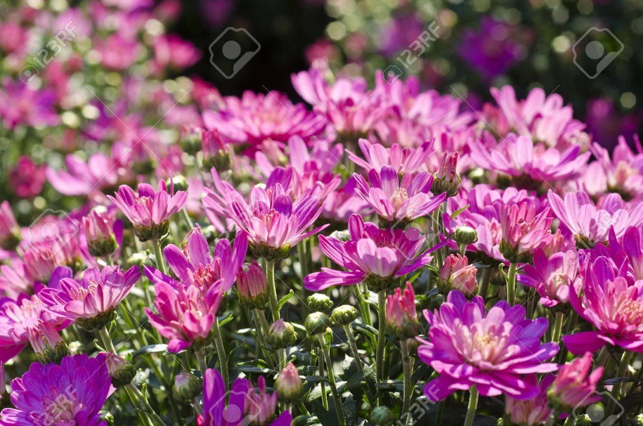 Pink Fall Chrysanthemums Stock Photo - 15283801