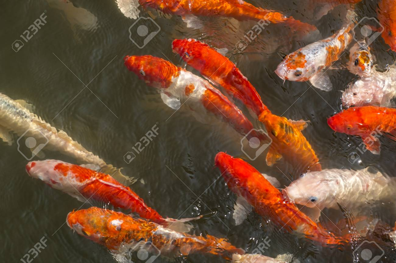 Colorful Coy Fish Swimming In A Pond Stock Photo, Picture And ...