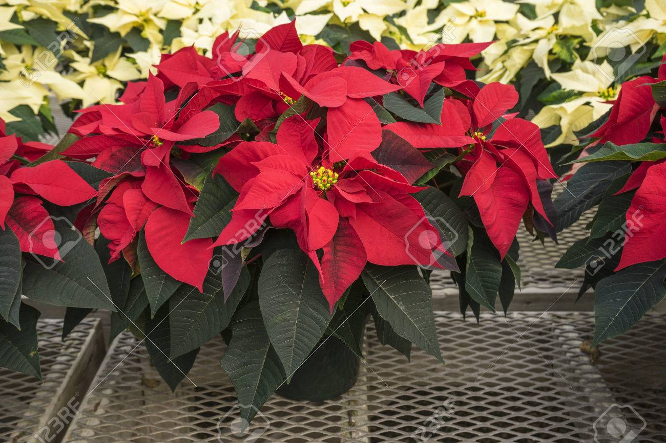 Red And Creamed Colored Potted Poinsettias In A Garden Center