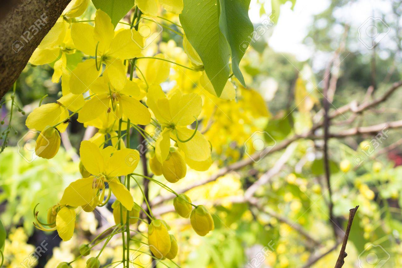 The Yellow Flowering Tree Is A Cassia Tree Cassia Fistula Tree
