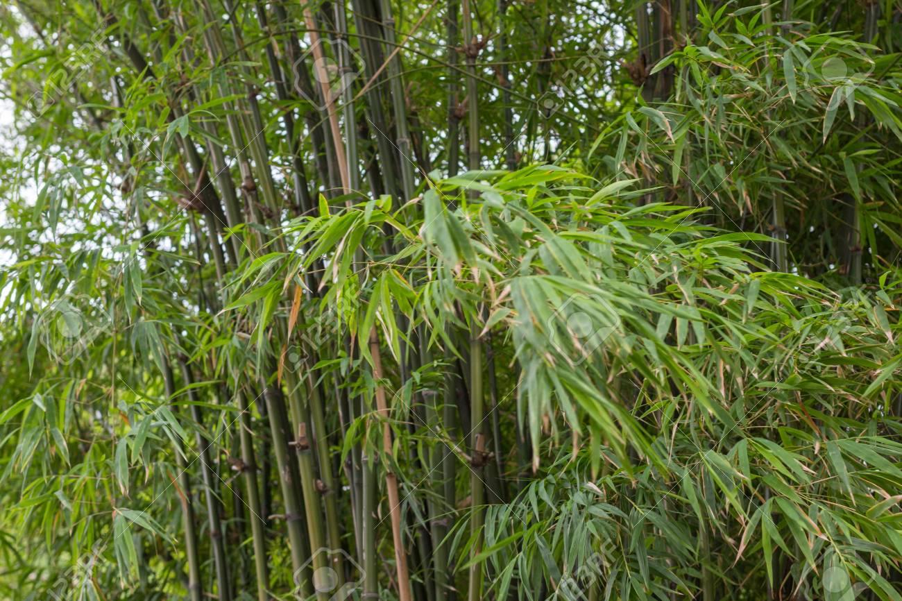 Frische Wachstum Gruner Bambus Blatter Zweig Und Uppigen Hintergrund