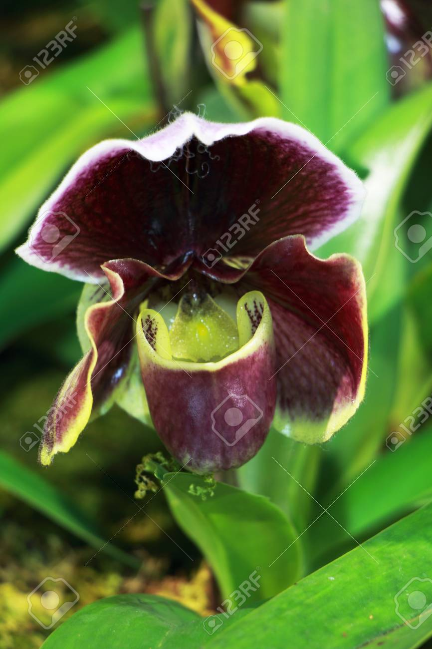 Purple Paphiopedilum Orchid Close Up With Green And White Stripes