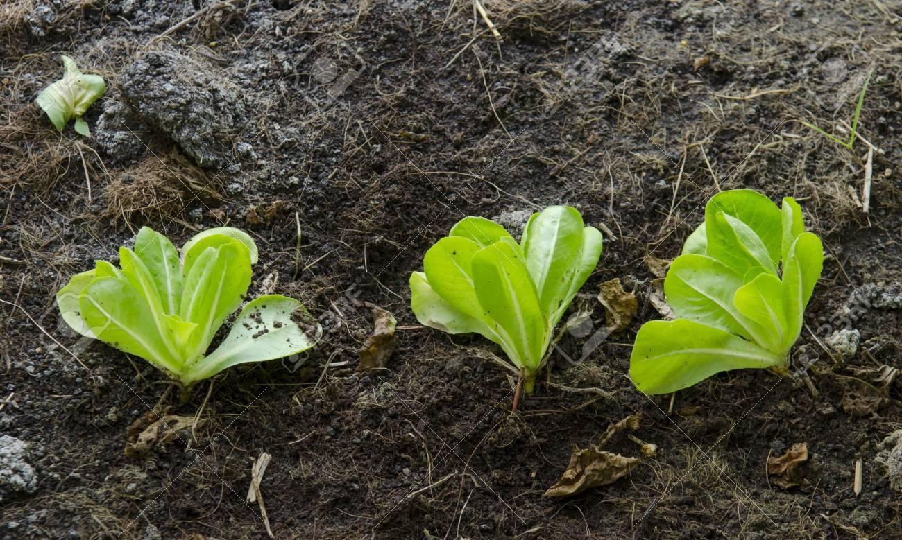 Organic vegetable garden for health Stock Photo - 17390297