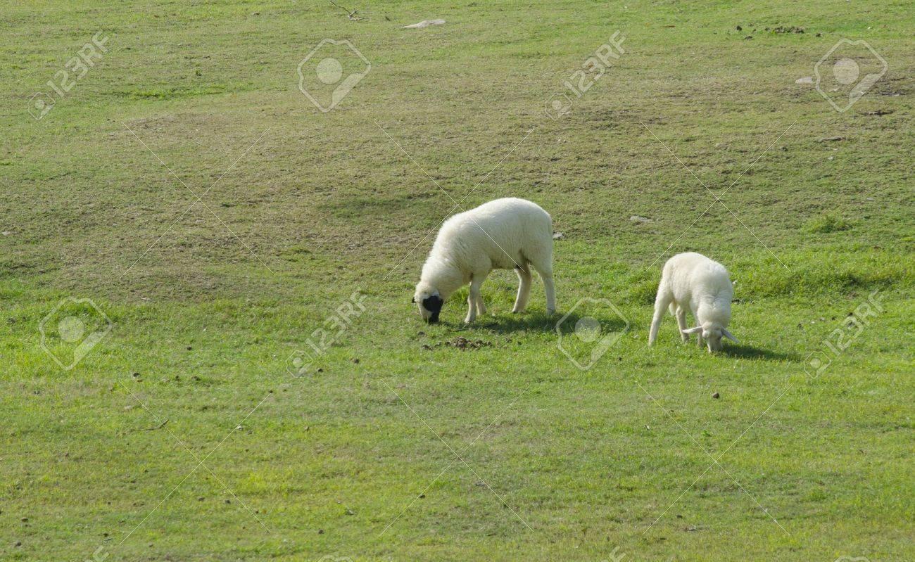 Sheep farm in South island, New Zealand. Stock Photo - 17616412