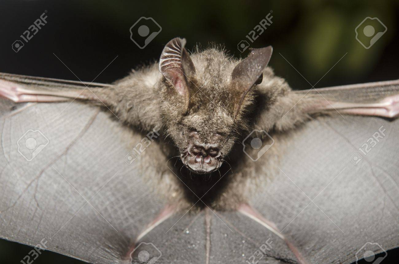 Bat in hand of researcher, Of research studies in the field. - 19593575