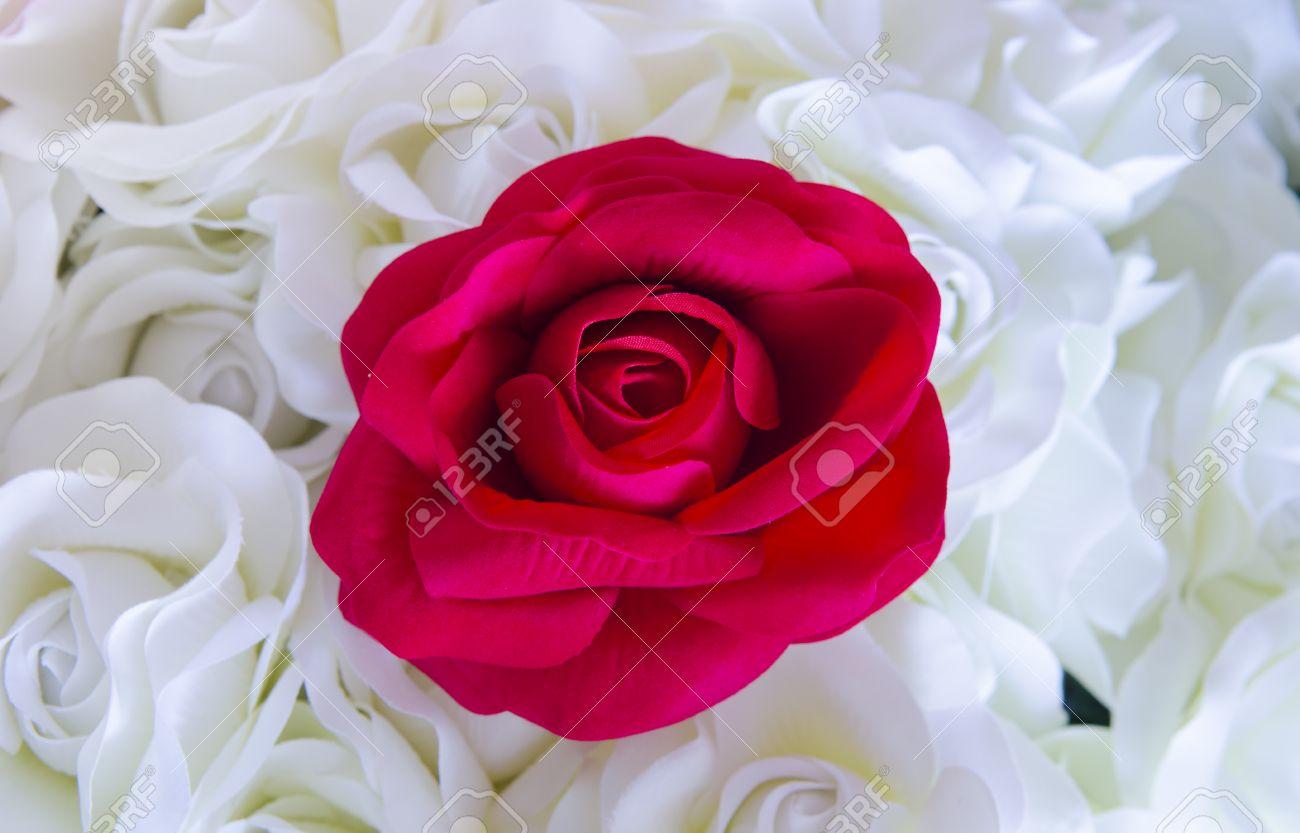 Representant L Amour Rose Rouge Parmi Les Fleurs Blanches Banque