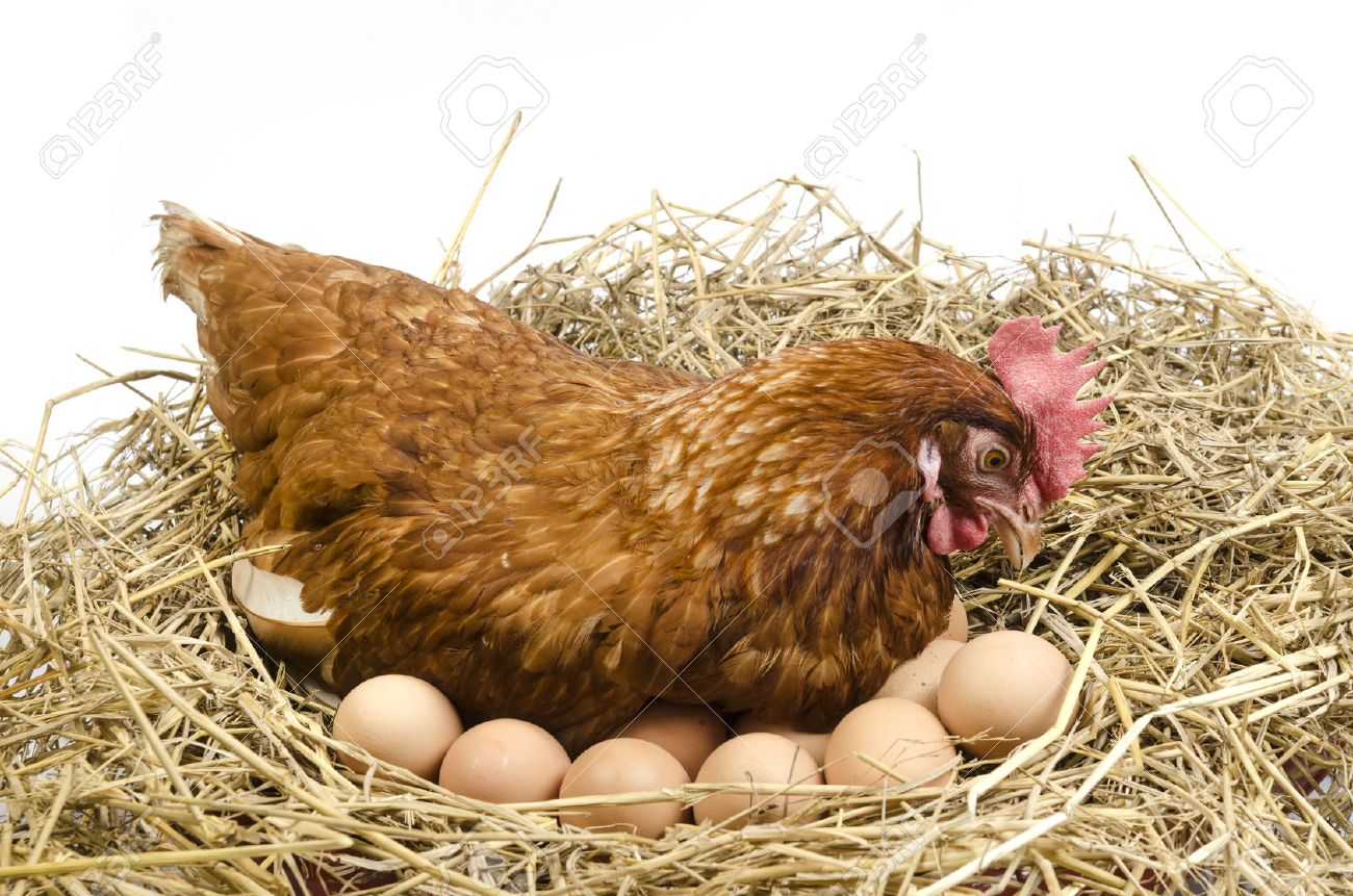 Laying Hen Stock Photos And Images - 123RF