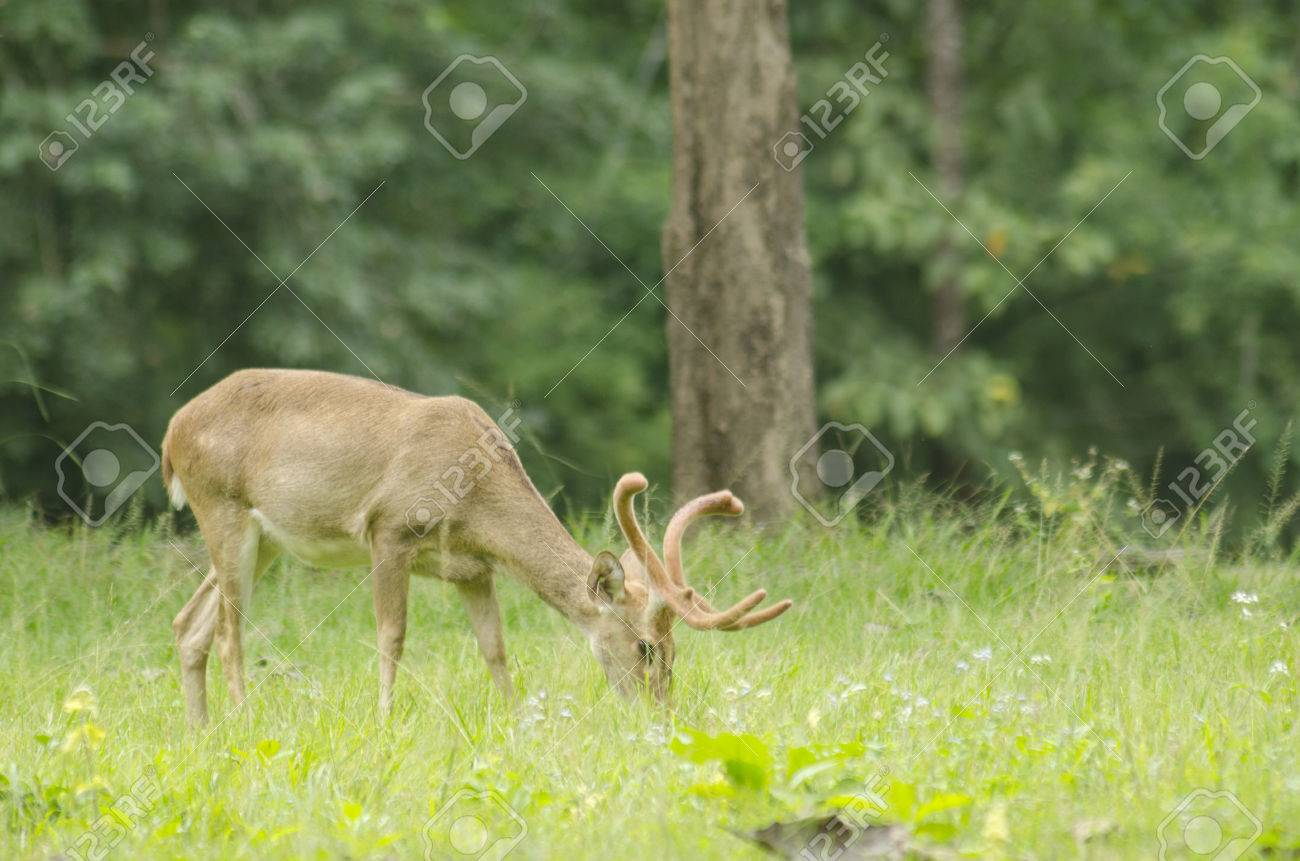 Eld's Deer in the field of natural site at Huai Kha Khaeng Wildlife Sanctuary, Thailand Stock Photo - 25548775