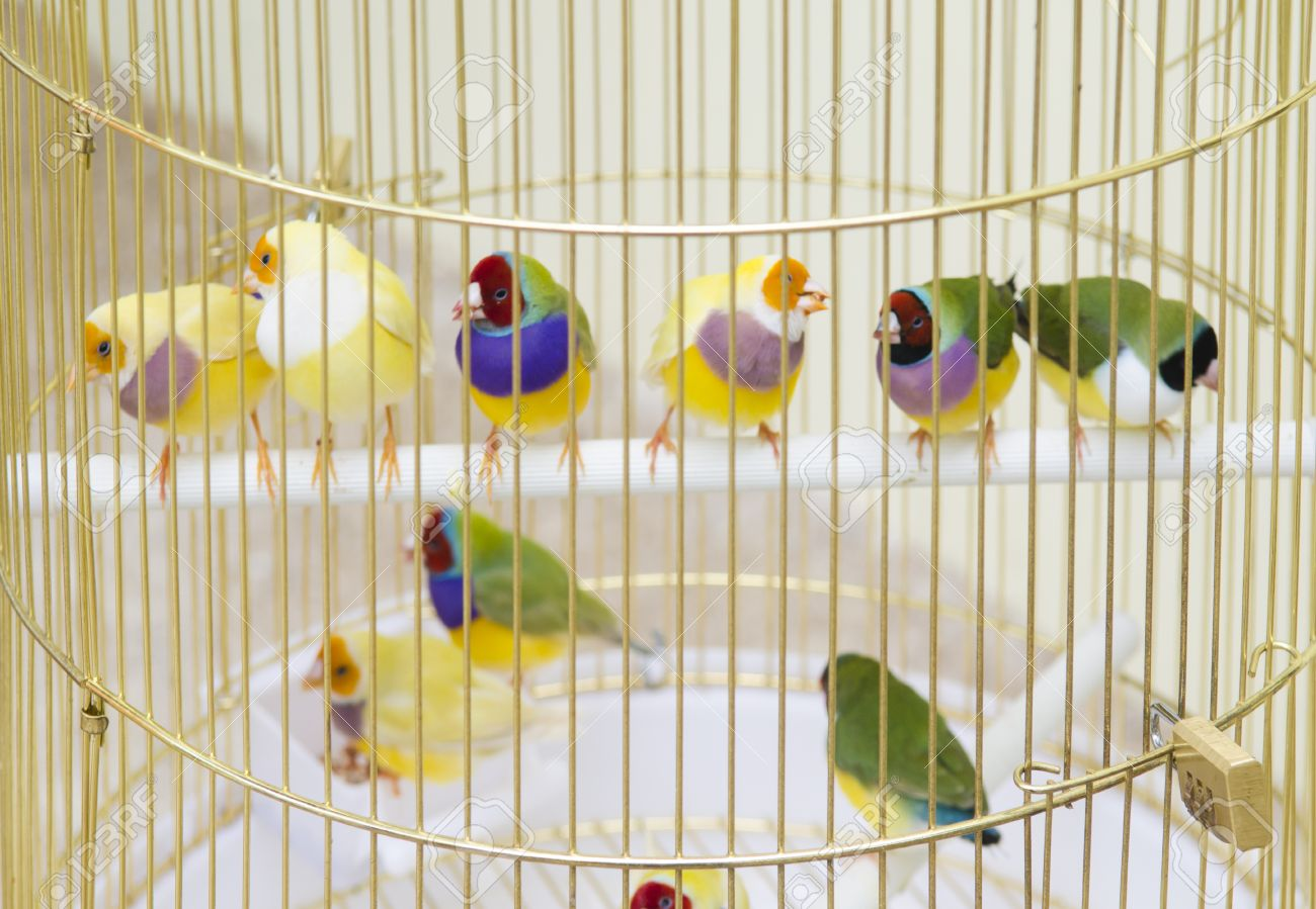 Lady Gouldian Finch in cage - 31755837