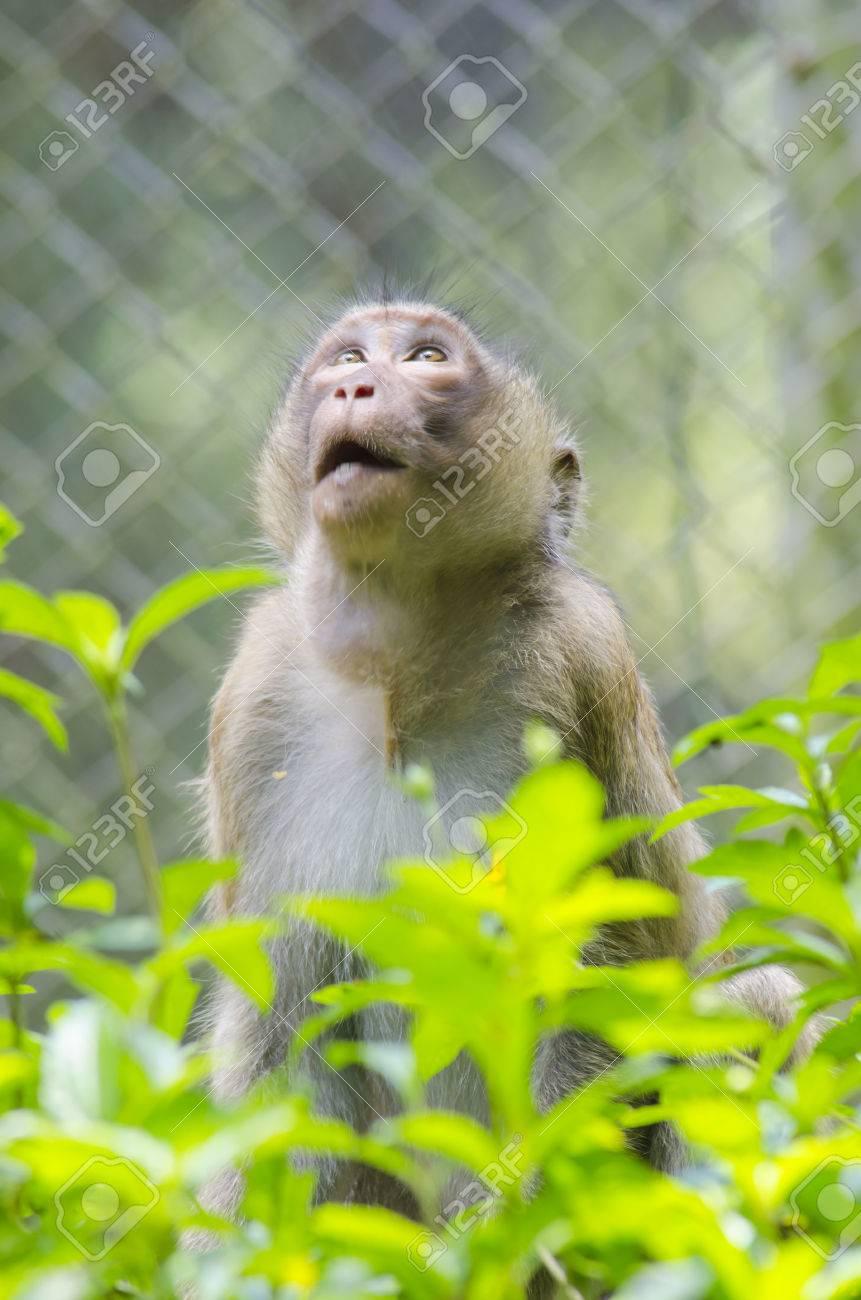 長い後につかれた Macaques、マ...
