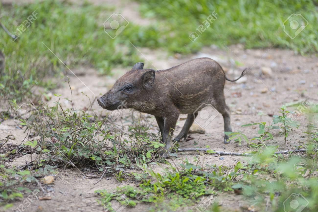 Baby Wild Pig Stock Photo