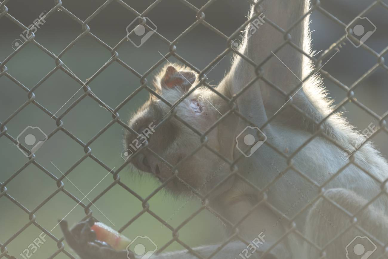 Wild Monkey In Cage Stock Photo, Picture And Royalty Free Image ...