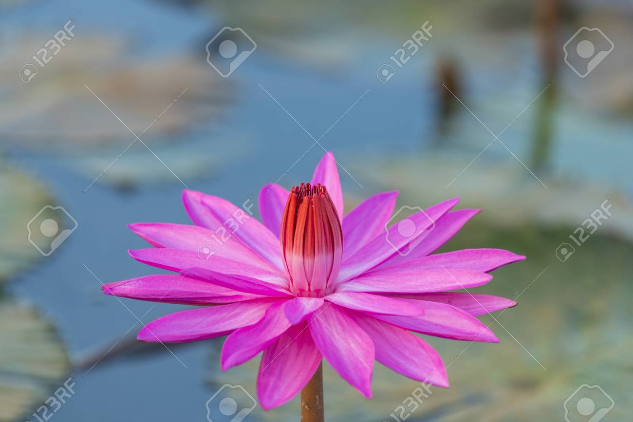 Lotus Flower In Pink Colour Stock Photo Picture And Royalty Free