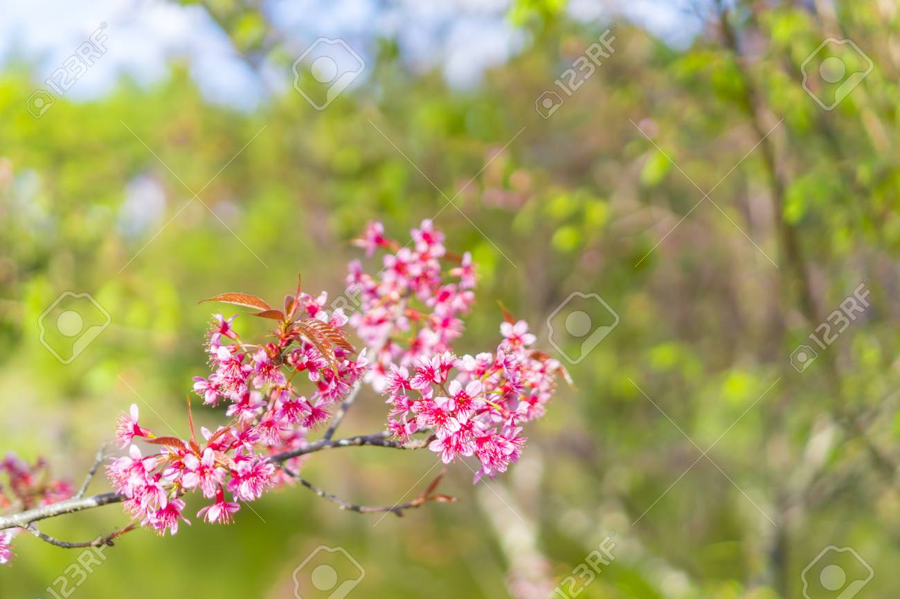 Blossom Pink Flower Tree Over Nature Background Spring Flowers