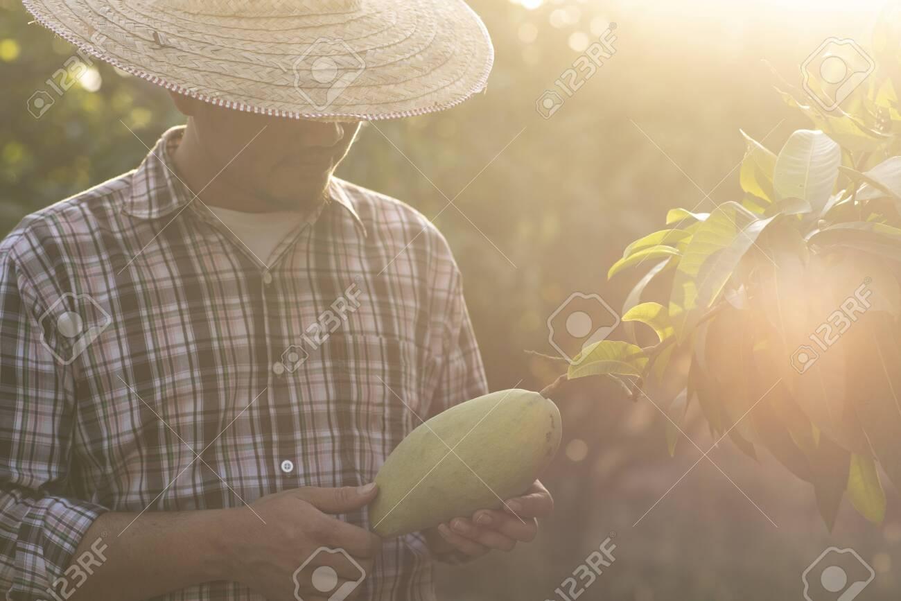 Farmers are checking mango quality. - 120121943