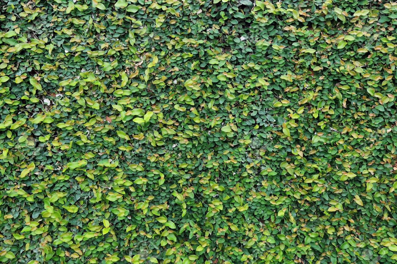 Walls Are Covered By Ivy Stock Photo, Picture And Royalty Free ...
