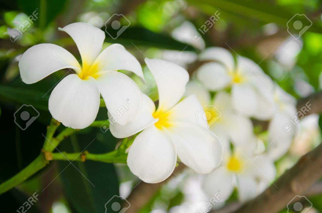 White Frangipani Flowers Has Five Petals Stock Photo Picture And