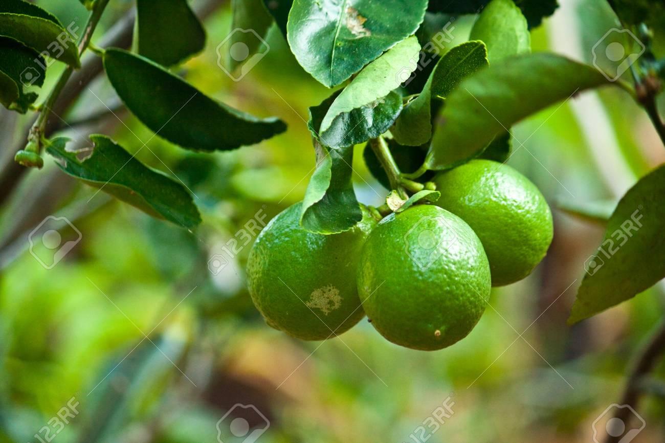 lemon Stock Photo - 11675638