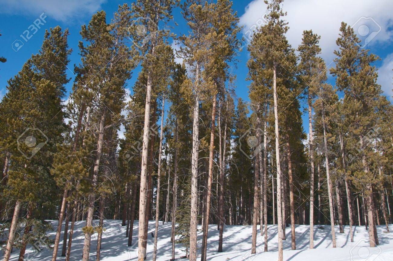 Pine tree trunks in forets over winter snow Stock Photo - 12193480