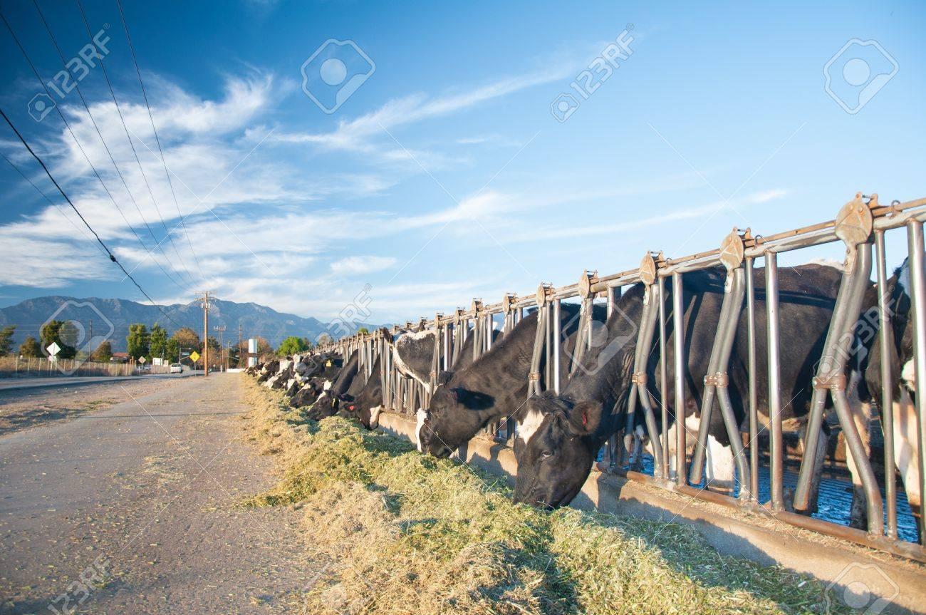 Californa cows feeding on street side under a bright beautiful blue sky Stock Photo - 16646829