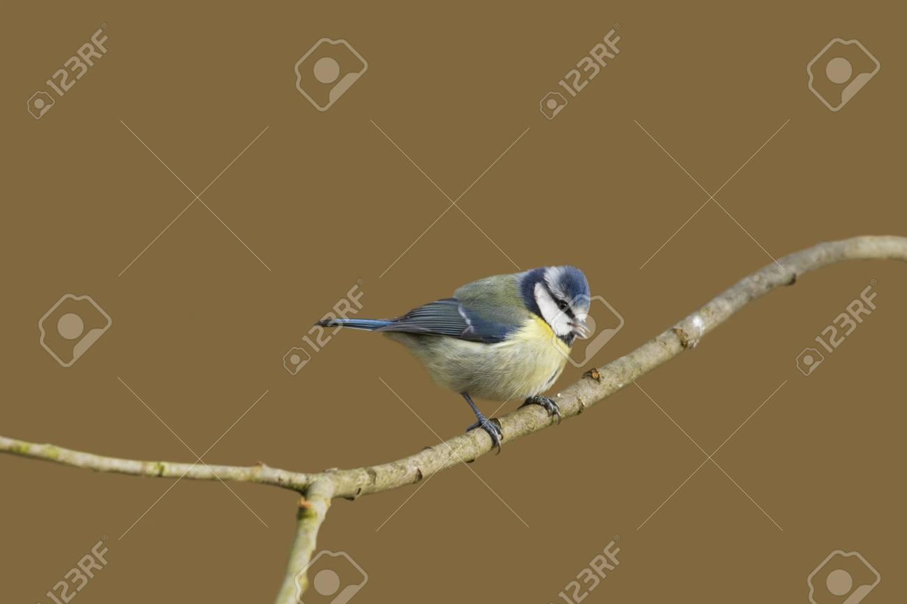 Blue Tit (Parus caeruleus) perched  on a branch Stock Photo - 12416159