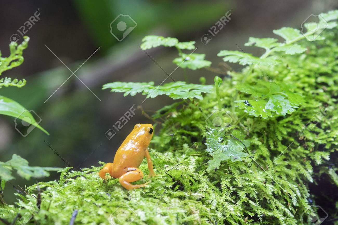 Colorful Golden Dart Frog Poison Dart Frog In Terrarium Stock
