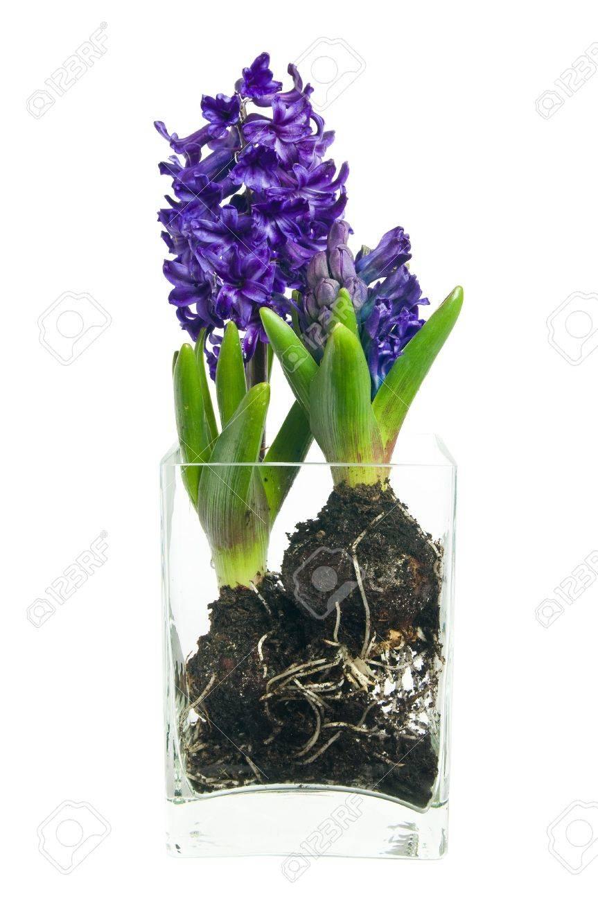 lila hyacinth frühjahr blumen in glas vase lizenzfreie fotos, Best garten ideen