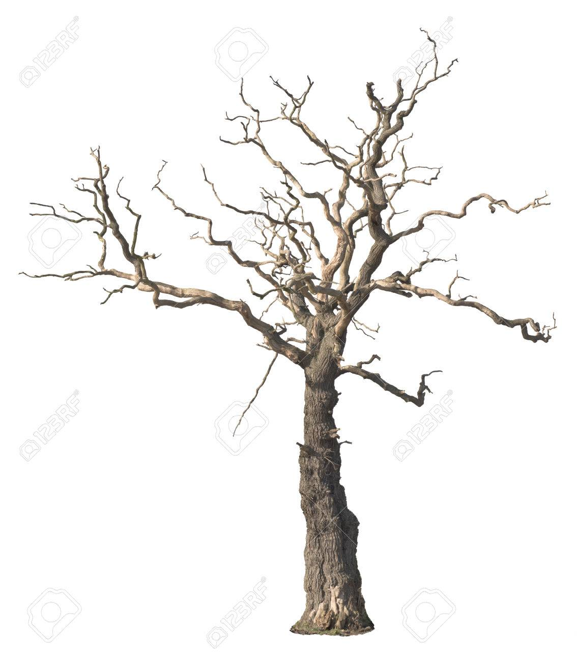 Dead tree isolated on white background - 54520254