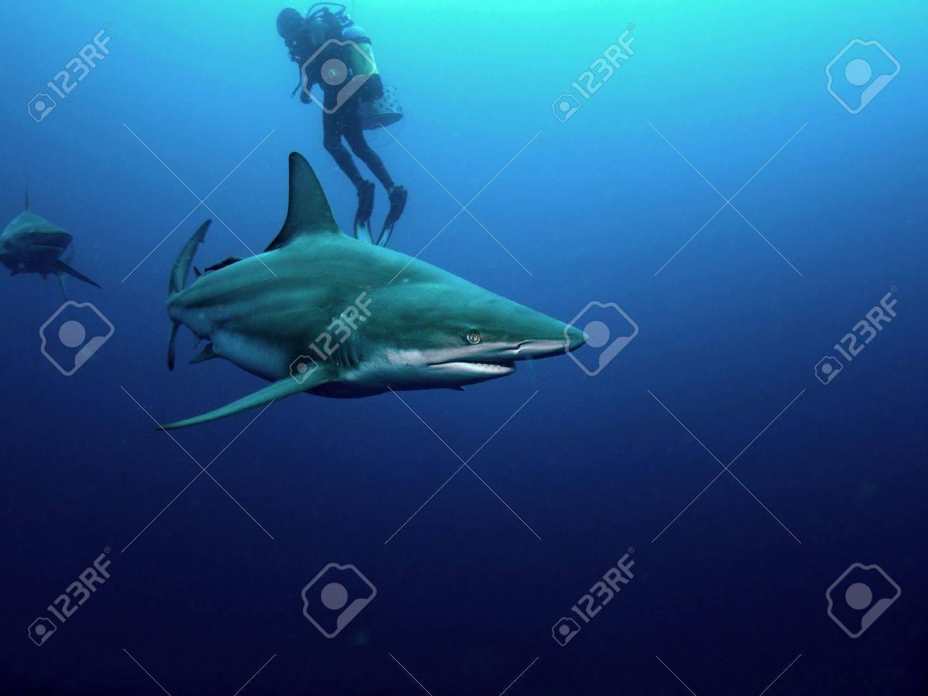 Blacktip (Carcharhinus limbatus) and Bull shark (Carcharhinus leucas) circling a scuba diver - 11205837