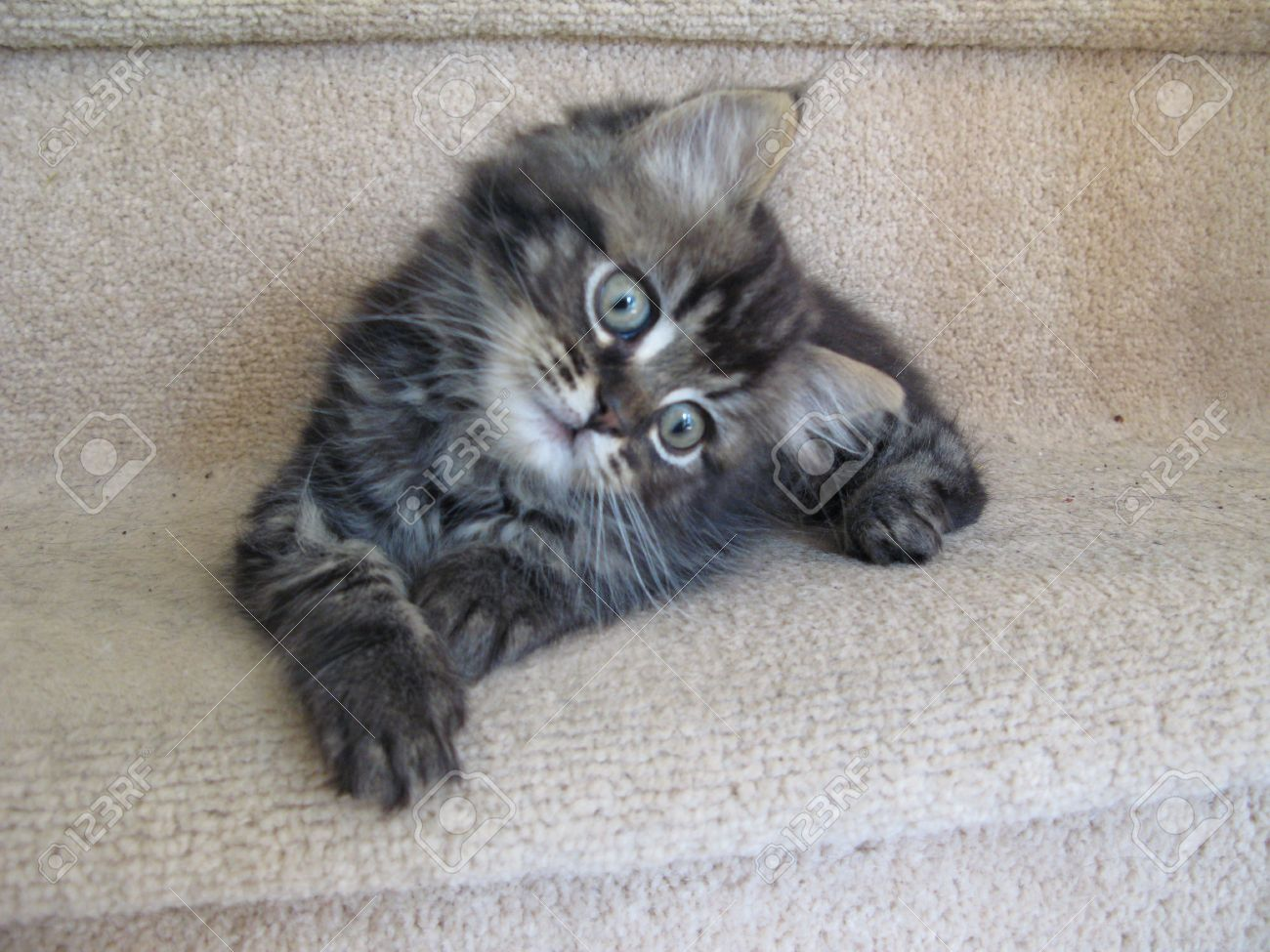 Cute Long Haired Tabby Kitten Stock Picture And Royalty