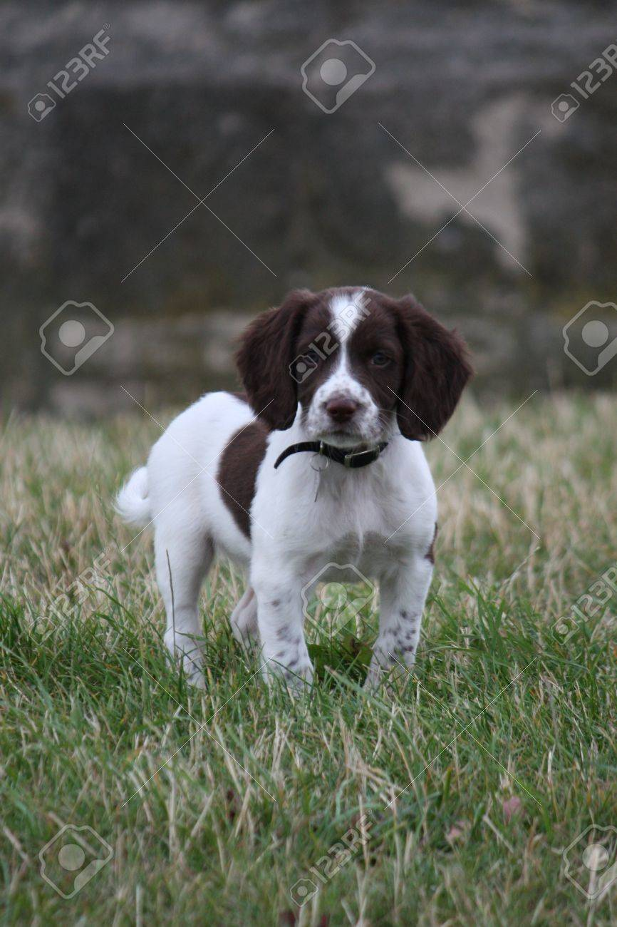 Working English Springer Spaniel puppy standing in a field