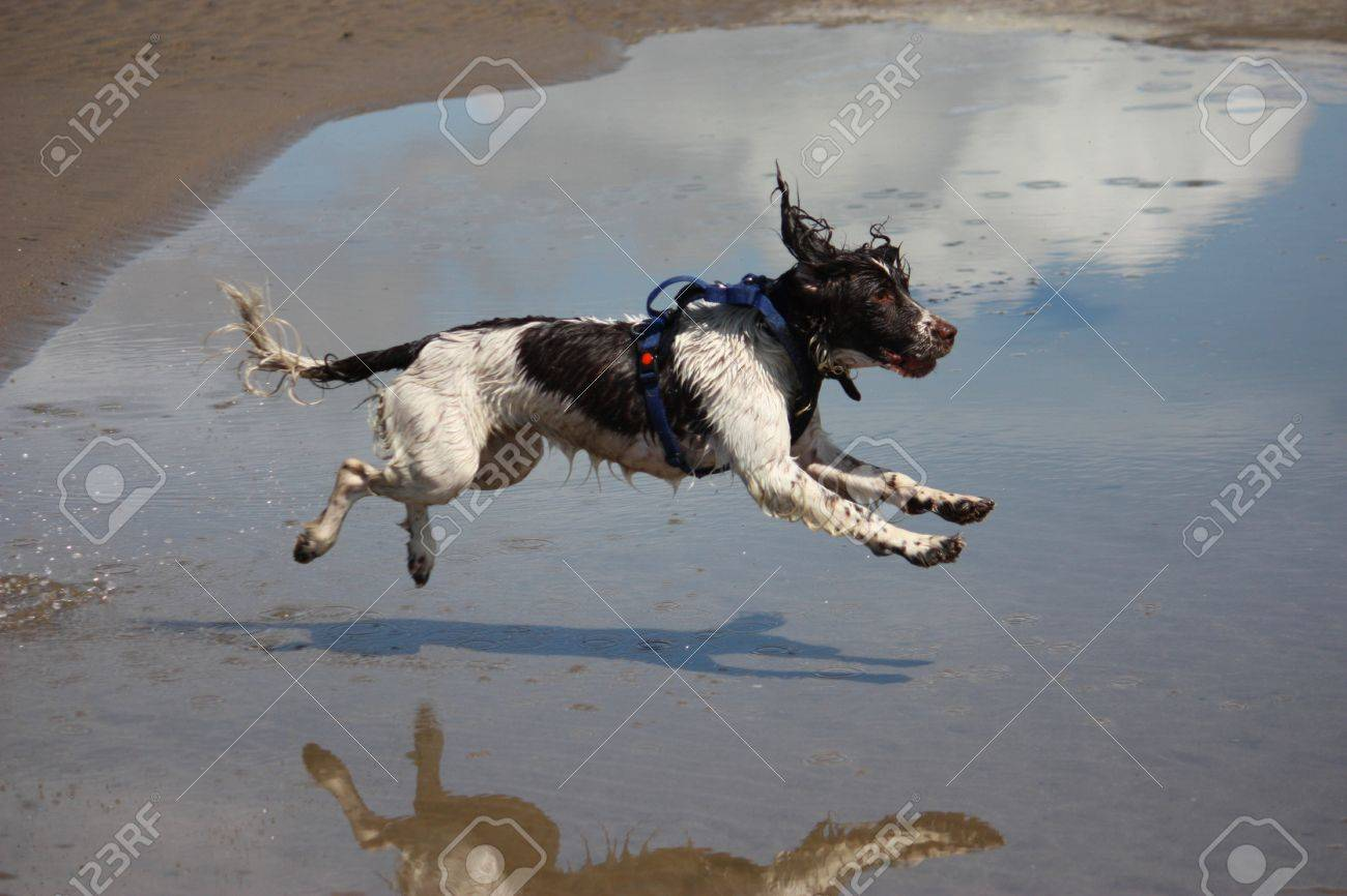 a working type english springer spaniel jumping over water on a beach Stock Photo - 15413957
