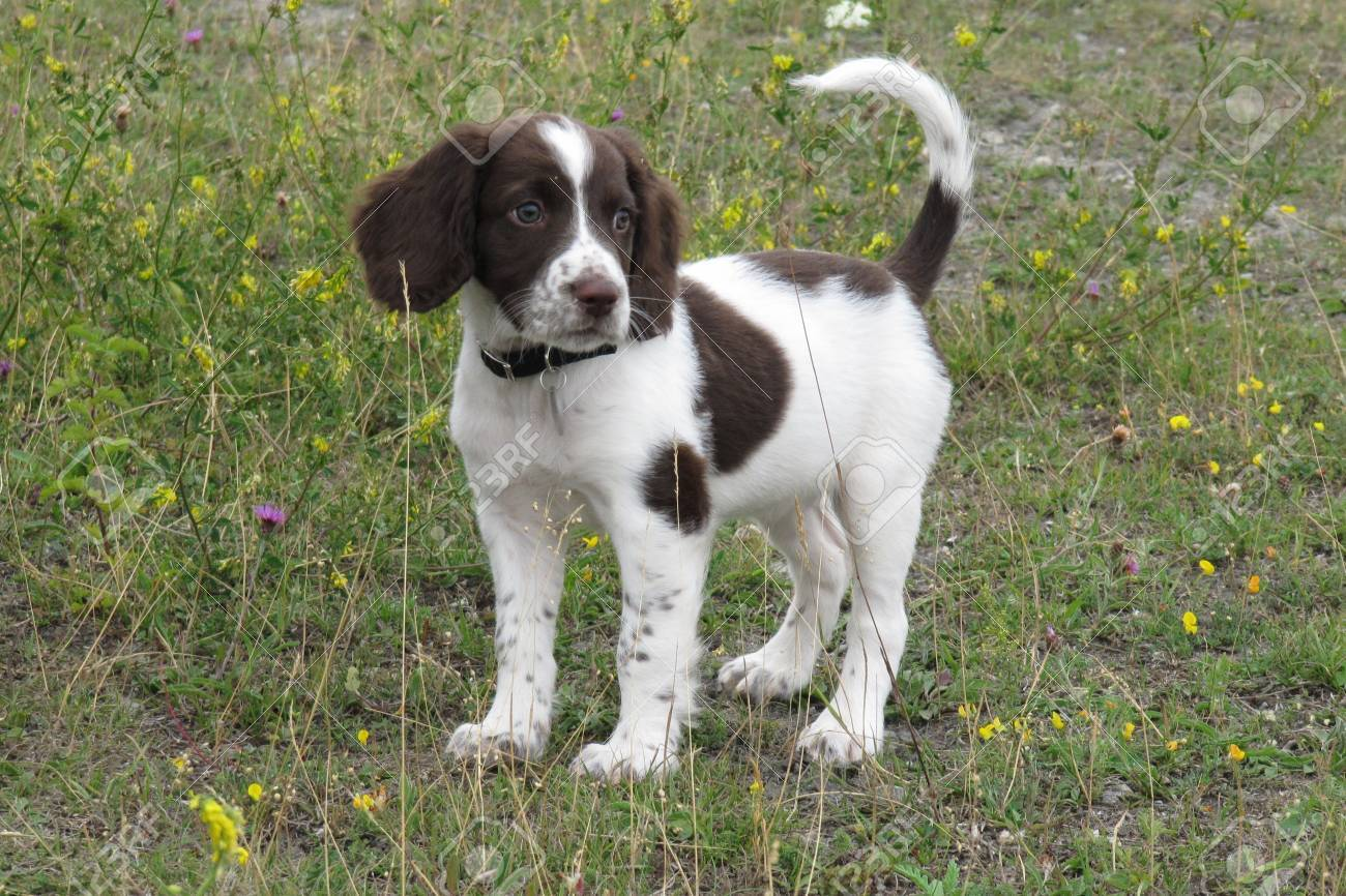 Very Cute Young Liver And White Working Type English Springer Stock Photo Picture And Royalty Free Image Image 31525271