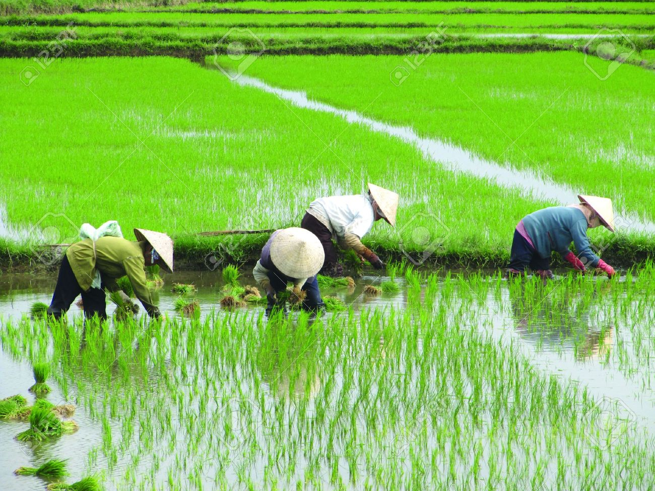 method of planting paddy