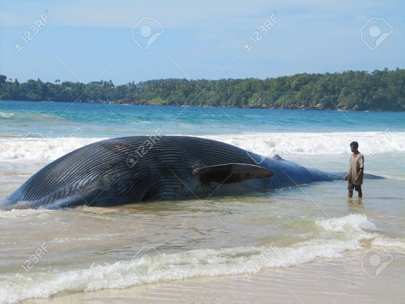 beached dead whale stock photo picture and royalty free image