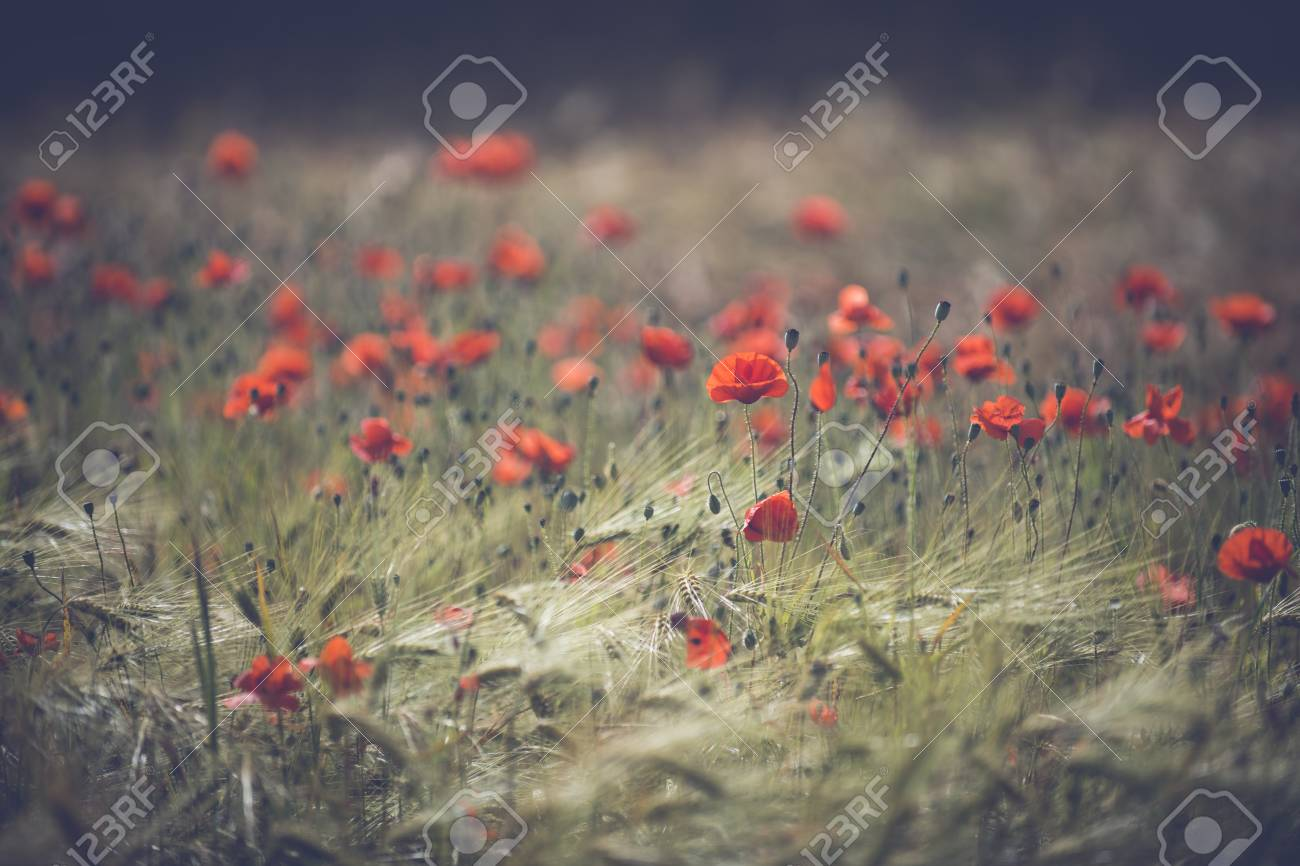 Red poppy field - Beautiful poppies growing and blooming in the warm sunlight. Stock Photo - 50157399