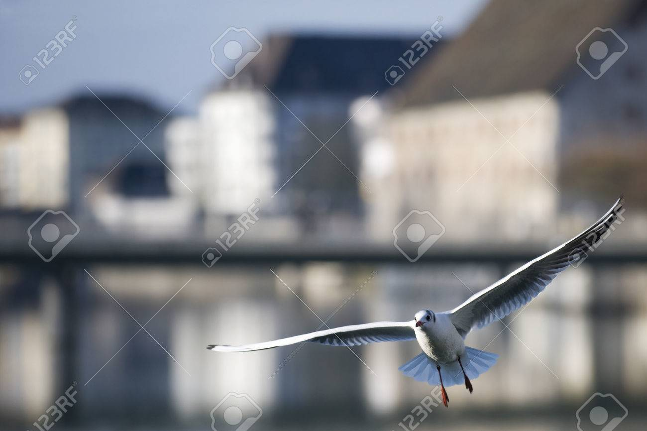 Bird flying in the city - A gull is flying over a river, in the background are some old manor houses. Stock Photo - 51566212