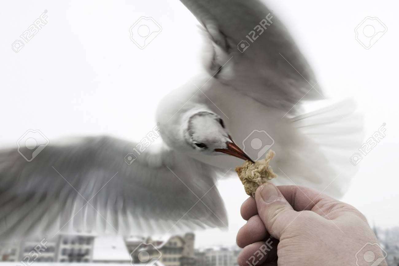 Feeding flying bird - A hungry sea gull is taking bread out of a mans hand while flying past. Stock Photo - 51566211