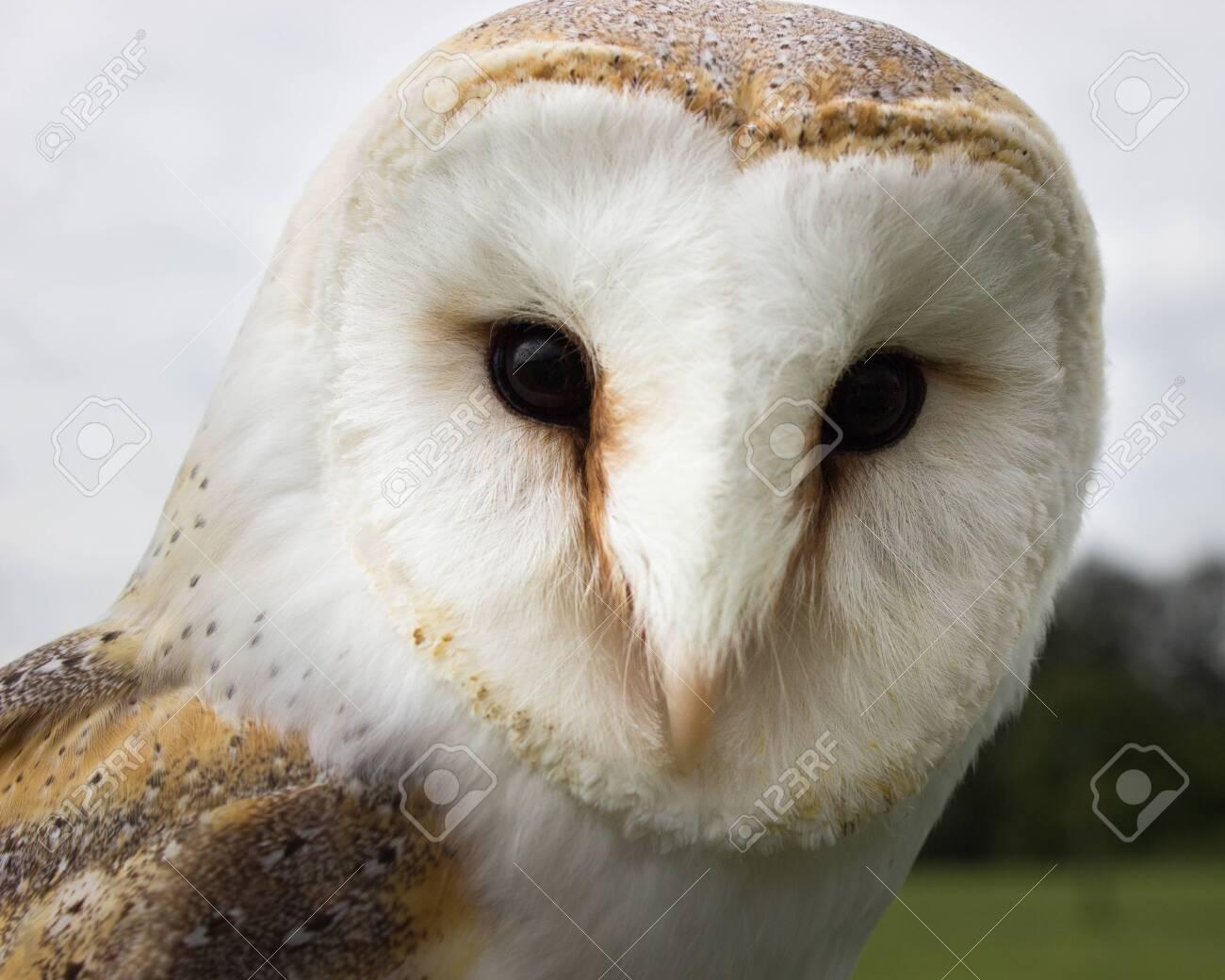 Barn Owl Face Close Up - 135324436