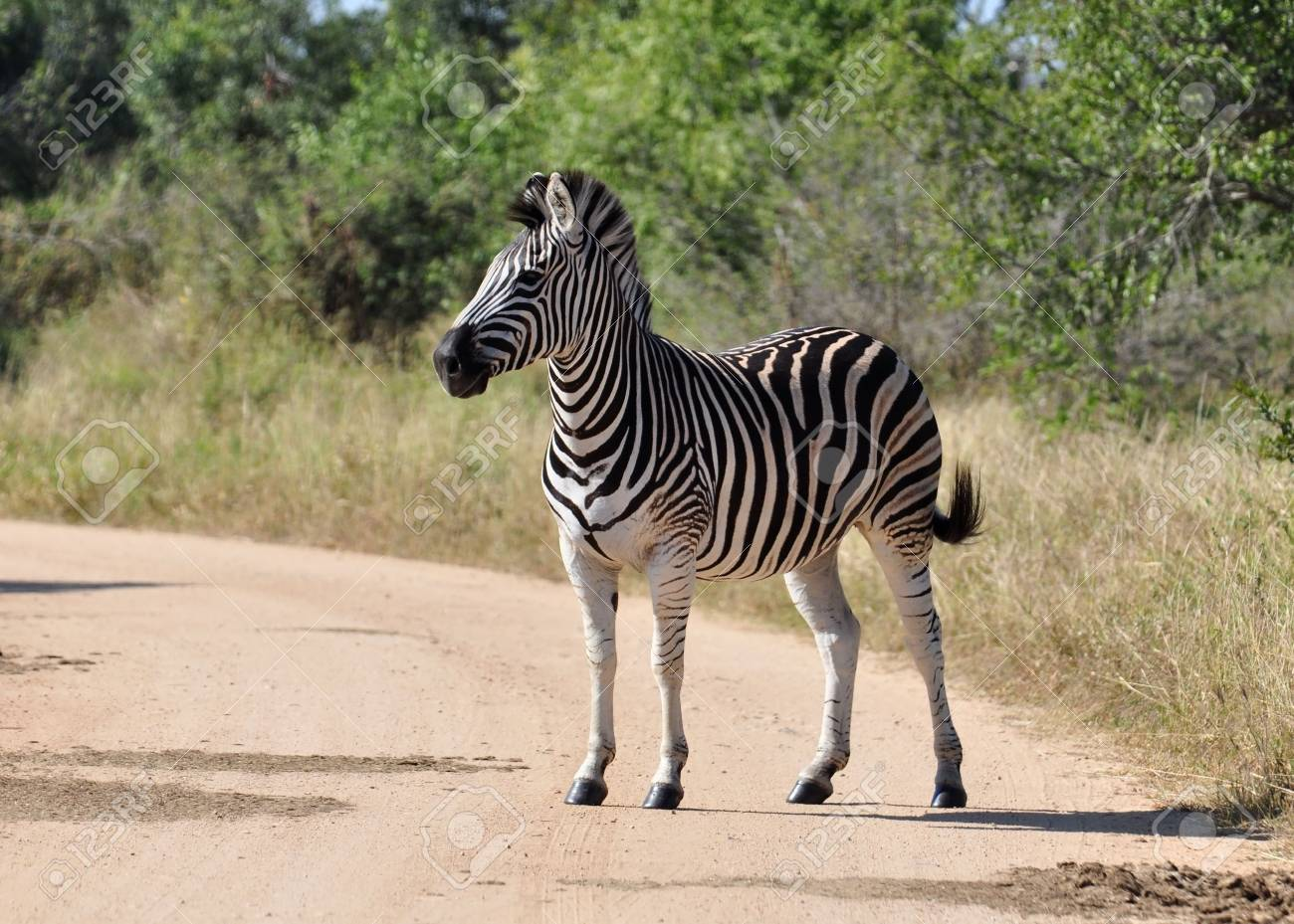 A Burchells Zebra (Equus quagga burchelli) in the Kruger Park, South Africa Stock Photo - 7536276