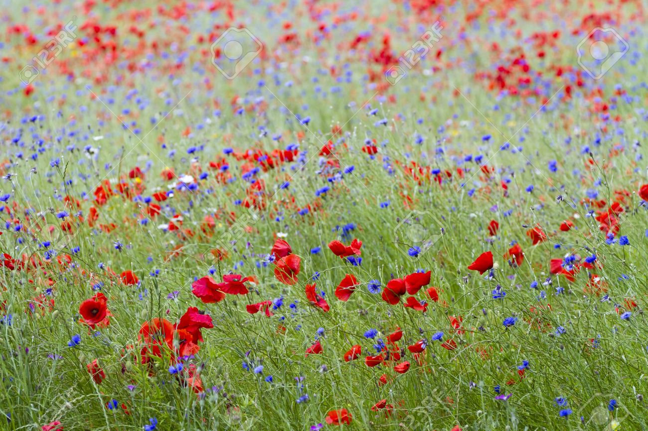 Blumenwiese Englisch wildflower meadow with poppies and cornflowers stock photo