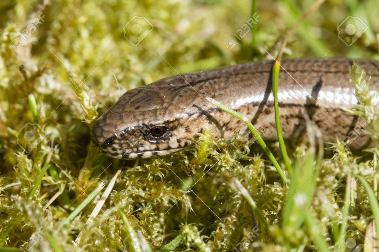 Close up of the head of a young slow worm  Anguis fragilis Stock Photo - 19611164