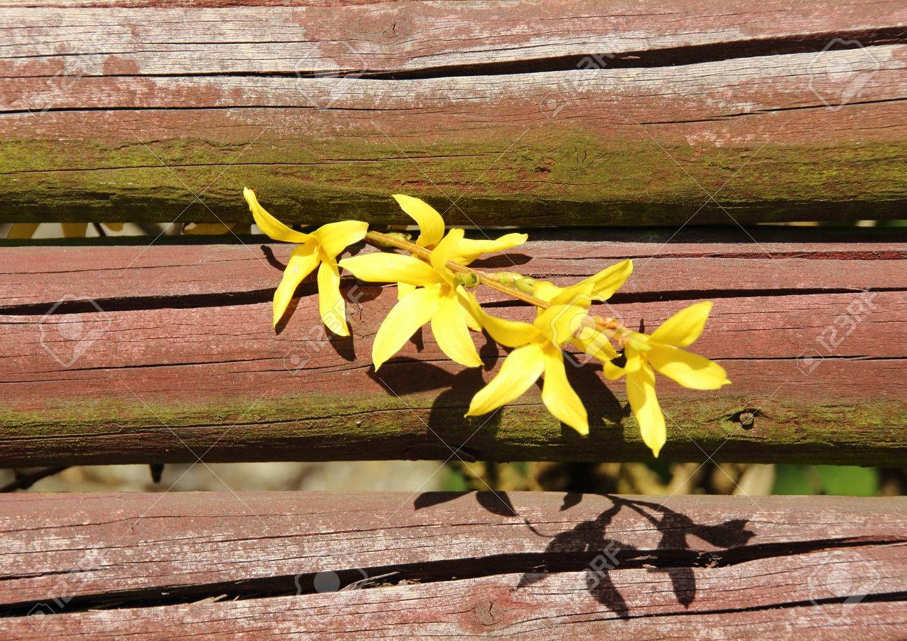 Yellow Broom Flower Branch In Springtime With Red Fence Stock Photo