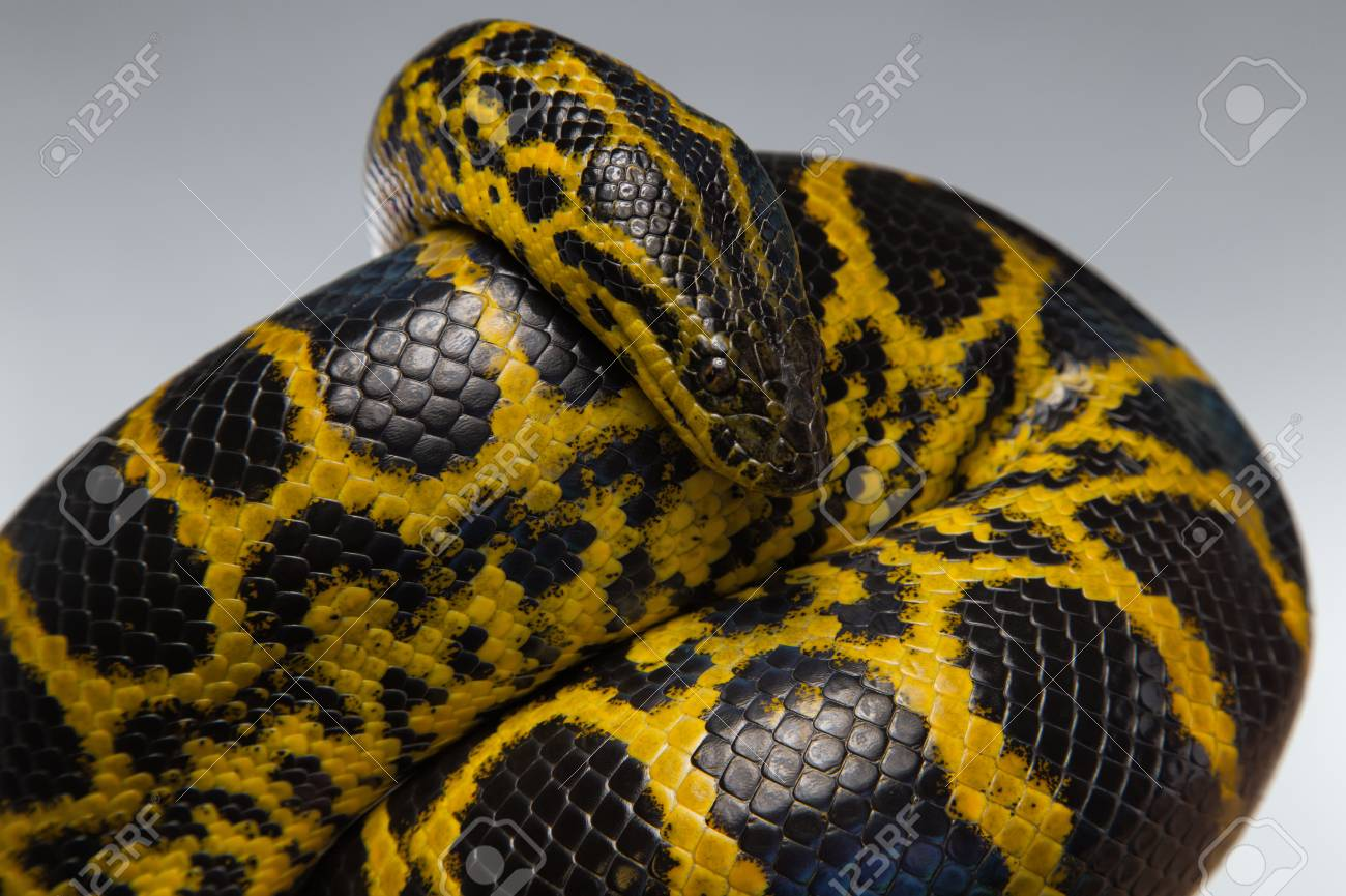 Black anaconda