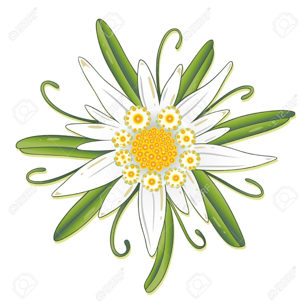 """Résultat de recherche d'images pour """"edelweiss"""""""